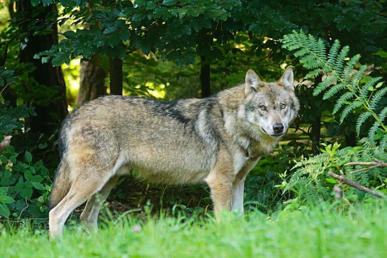 BeBiodiversity Loup