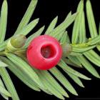 Taxus, die in vele hagen wordt gebruikt, bevat baccatine. Deze stof wordt aangewend voor de behandeling van borst- en eierstokkanker.