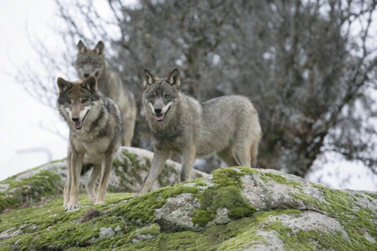 BeBiodiversity Loup y es-tu ? …
