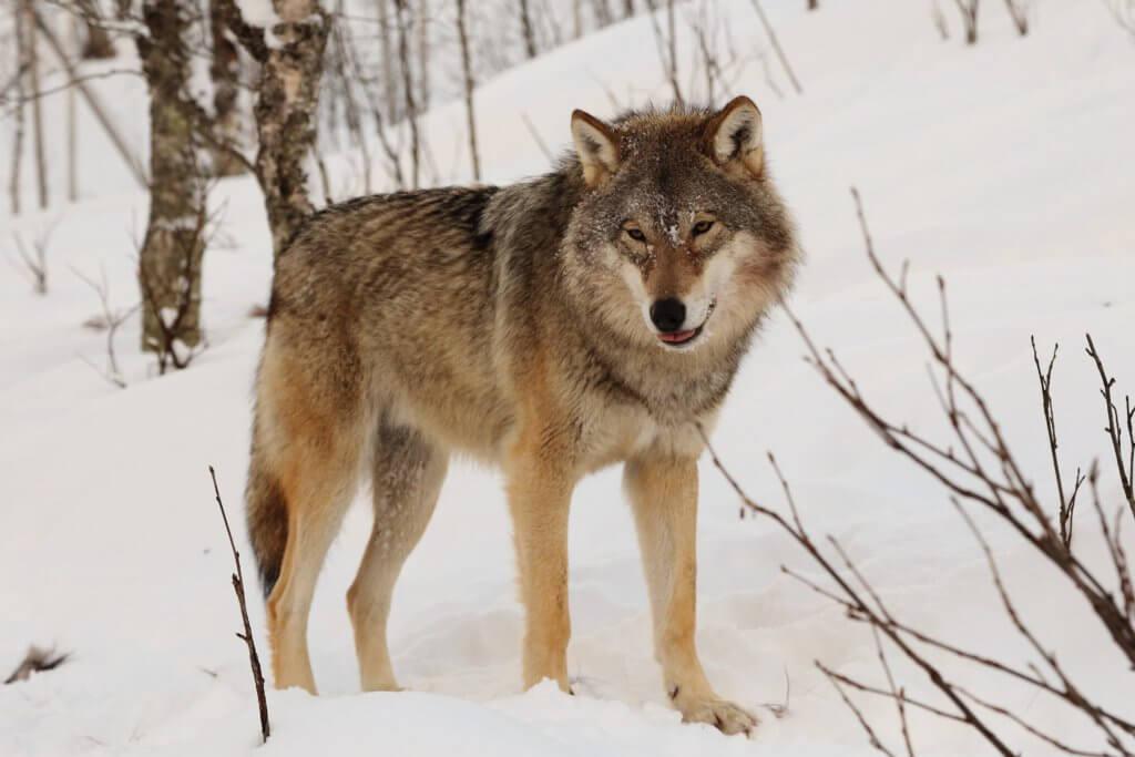 BeBiodiversity Ben je daar wolfje? …