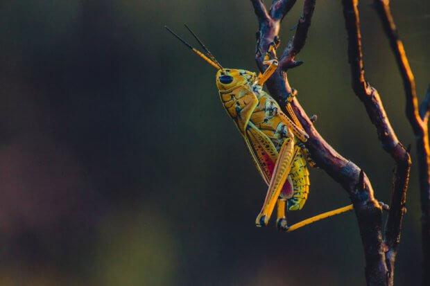BeBiodiversity Les insectes comme alternatives à la viande, une vraie solution ou un faux problème ?