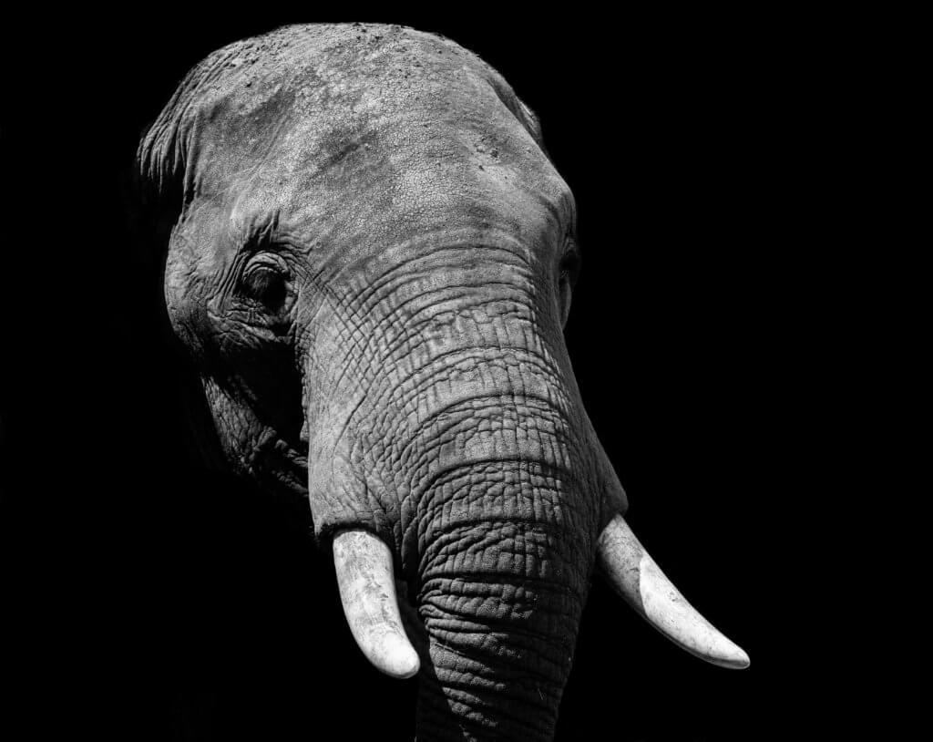 BeBiodiversity Ivoor vernietigen ter bescherming van de wilde olifanten
