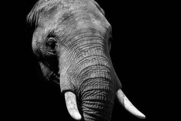 BeBiodiversity Détruire de l'ivoire pour la défense des éléphants sauvages