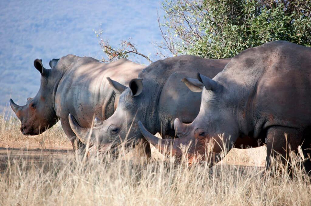 BeBiodiversity Kunnen ecotoerisme en duurzame handel de neushoorn redden?