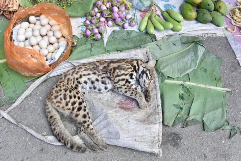 BeBiodiversity Quand peut-on vendre la peau de l'ours ? Et celle du serpent ?